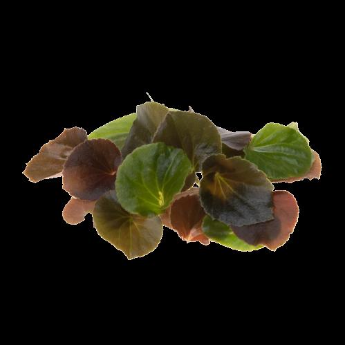 Image бегония вечноцветущая (лист)