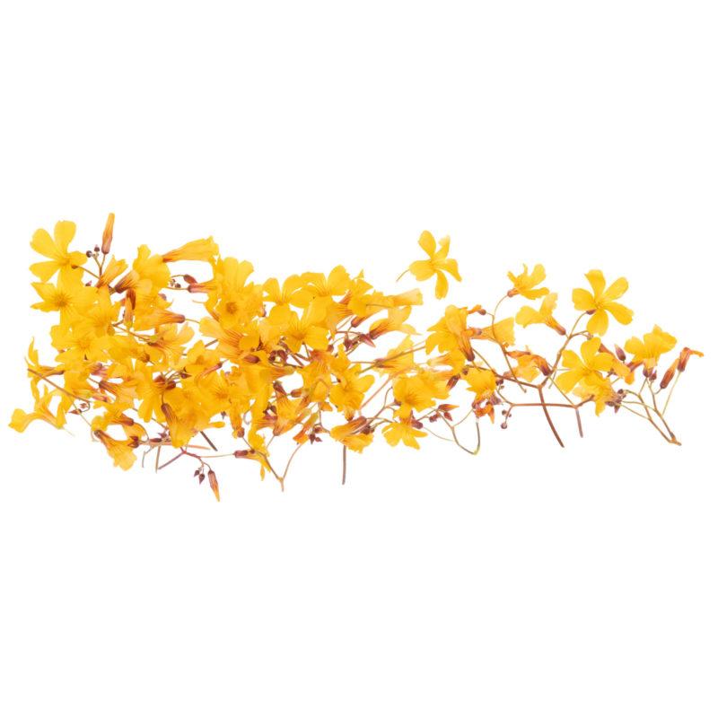 Image кислица цветок