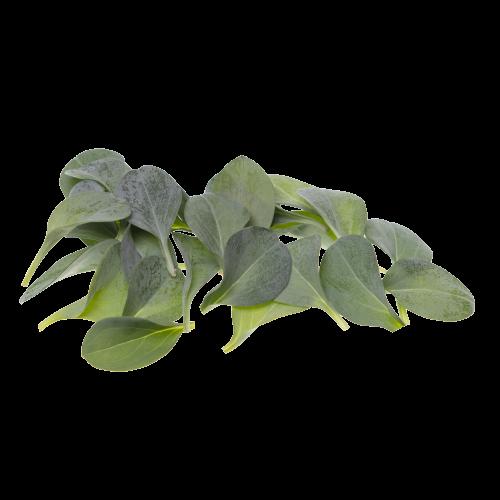 Image устричный лист
