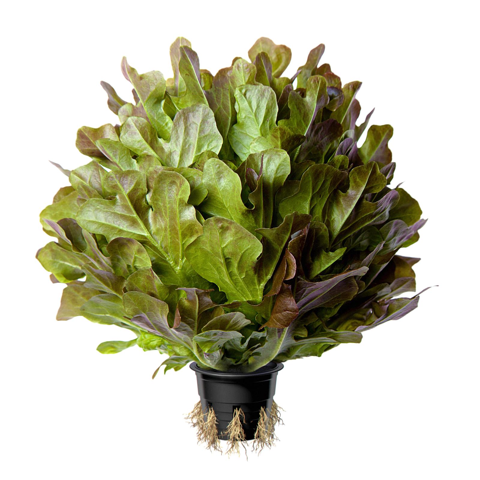 Image салат красный листовой COUNTRY