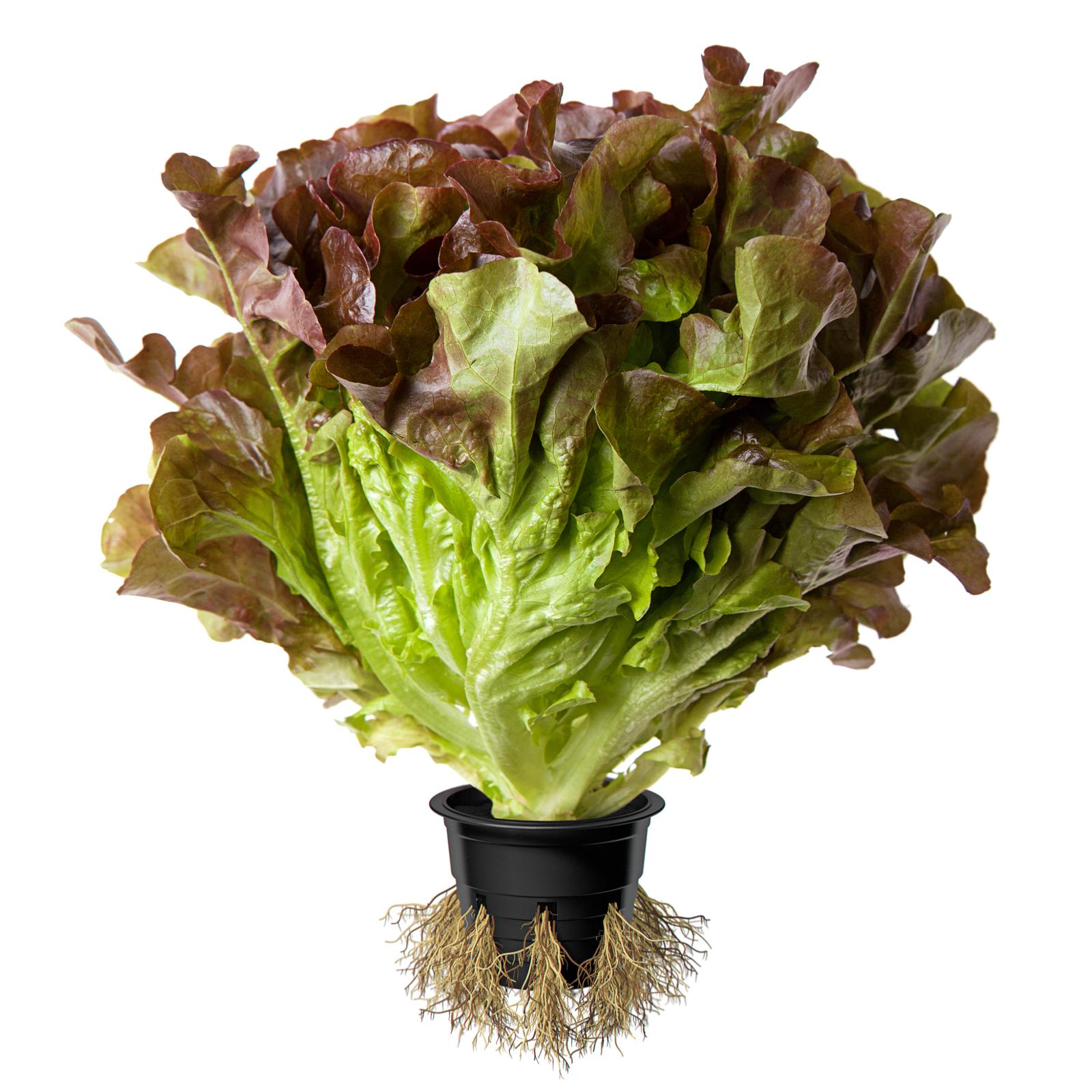 Image салат Дуболистный красный