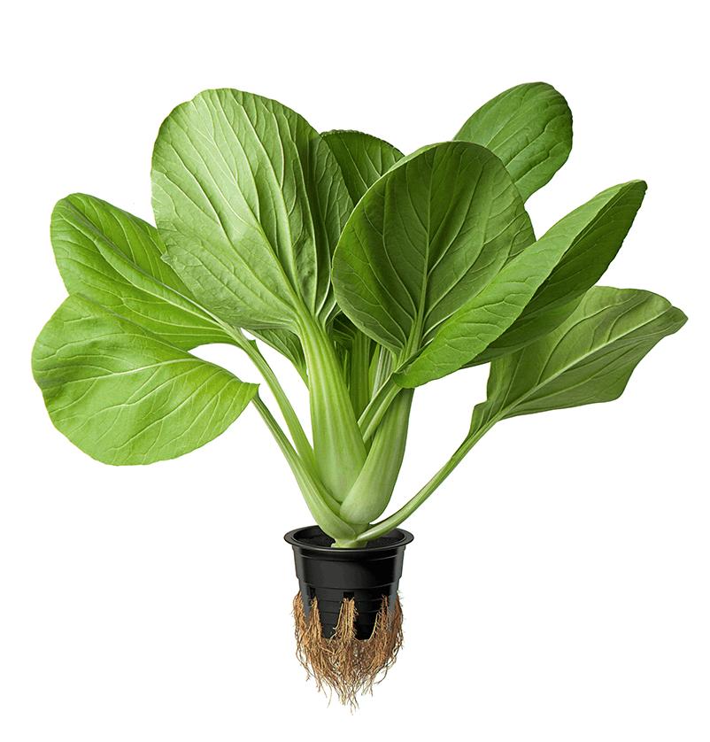 Image японская зелень в горшочке