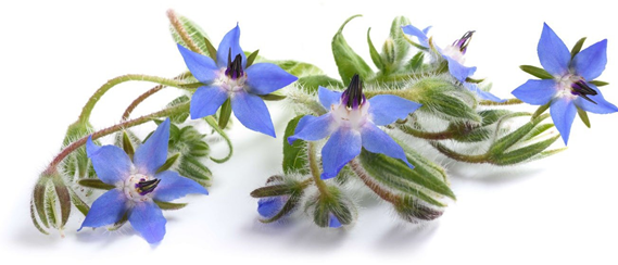 Image бораго цветок