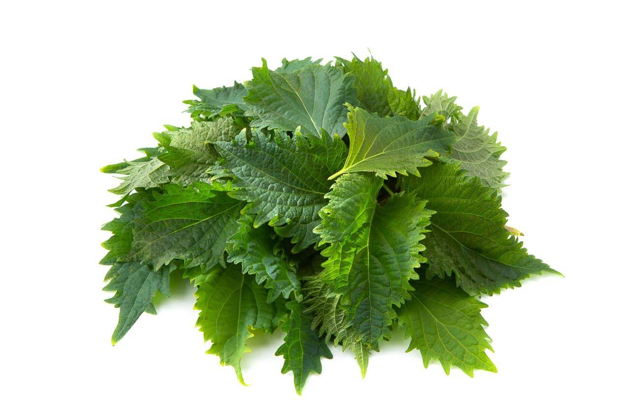 Image шисо/перилла зеленая (лист)